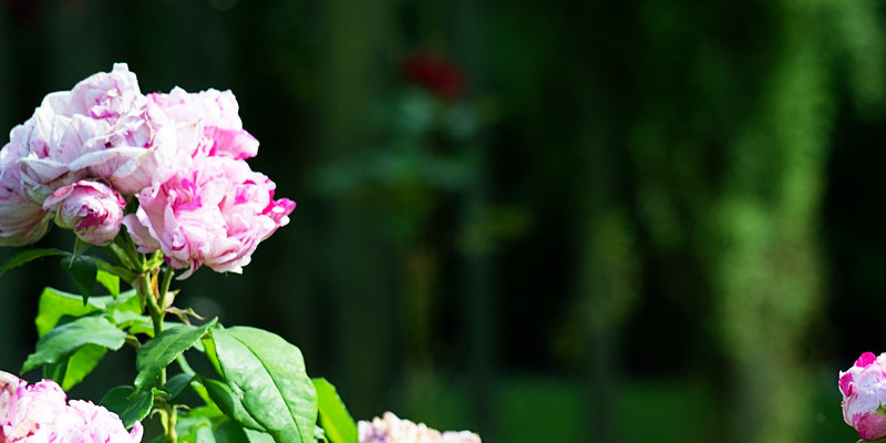 The best way to Care for the Perennial Rose Campion
